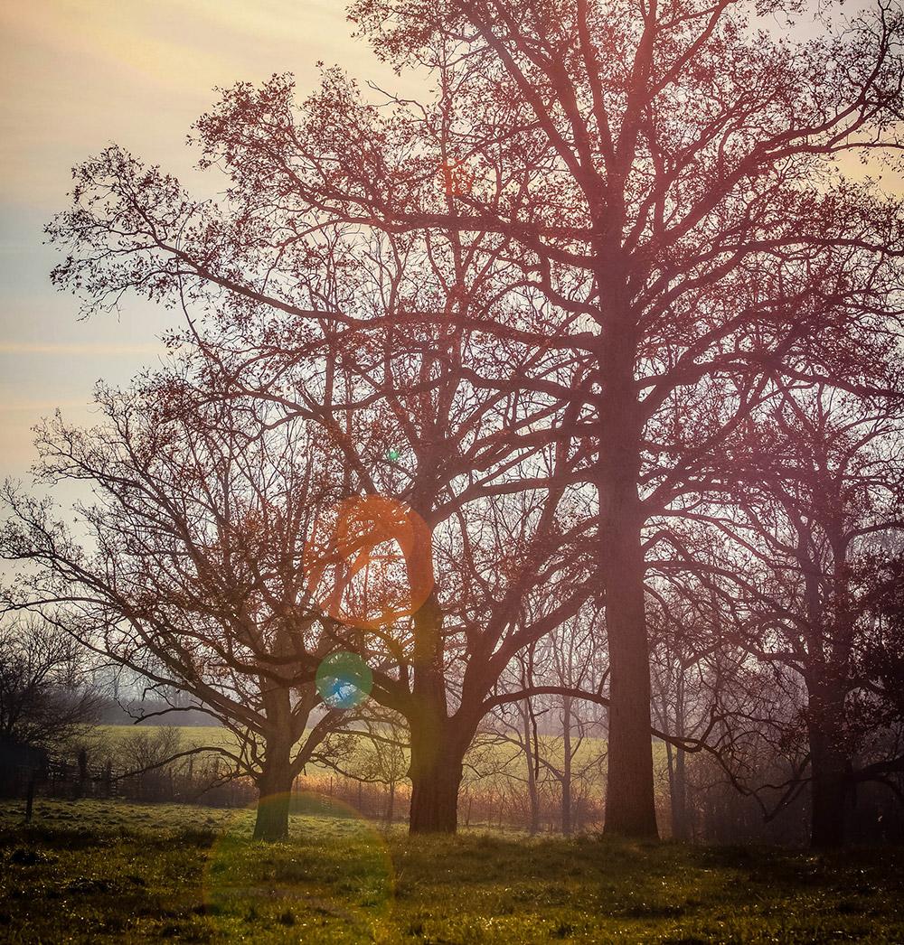 selma-trees